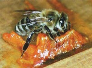 Башкирский мед. Прополис